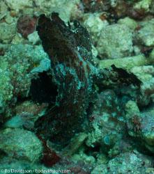 BD-090920-Bunaken-9203357-Taenianotus-triacanthus.-Lacepède.-1802-[Leaf-scorpionfish].jpg